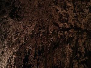 足羽山夜桜
