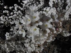 足羽川夜桜