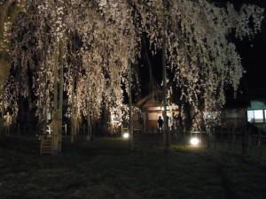 足羽山 足羽神社 しだれ夜桜